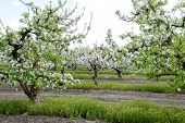 Blooming Apple Orchard. Adult Trees Bloom In The Apple Orchard. Fruit Garden. poster