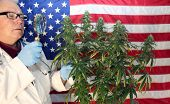 Medical Marijuana Doctor or Scientist. Doctor examines a Female Marijuana Plants Flowers for Quality poster