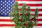 Marijuana Plant in front of an American Flag. Female Marijuana Flowers.  poster