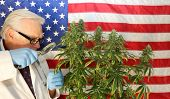 Medical Marijuana Doctor or Scientist. Dr. Sativa Doctor examines a Female Marijuana Plants Flowers  poster