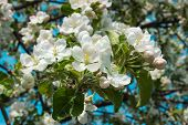 White Cherry Flowers. Flowers Of Cherries Against The Sky. Beautiful Cherry Blossoms In Spring. poster