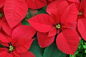 picture of christmas flower  - Close up of red poinsettia christmas flowers - JPG