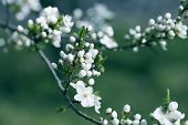 Flowers On The Branches Of A Tree Cherry Spring. Blossoming Branch Close-up. Spring Garden Of Flower poster
