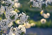 Flowers On The Branches Of A Tree Cherry Spring. Blossoming Branch Close-up. Spring Blossom. poster