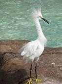 Tall Snowy Egret Bird By A Pool Of Water. poster
