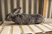 Agricultural Rabbits Are Very Beautiful And Attract Their Coloring Of Wool. Home Rabbits Domestic Ra poster