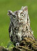 stock photo of screech-owl  - A capture of a cute screech owl resting on a log - JPG