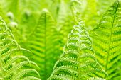 Vibrant Natural Green Fern Texture Pattern. Beautiful Tropical Forest Or Jungle Foliage Background.  poster