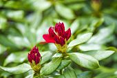 Blooming Red Rhododendron Flower In Spring.blooming Red Rhododendron Flower In Spring. poster