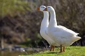 Two White Big Geese Peacefully Standing Together In Green Grassy Meadow With Dark Blurred Forest Beh poster