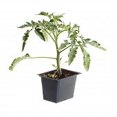 Single Seedling Of A Tomato Isolated Against White