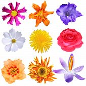 picture of cosmos flowers  - Set of colorful flower heads isolated on white - JPG