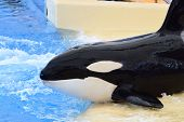 Portrait Of A Killer Whale (orcinus Orca) About To Enter The Water During A Whale Show poster