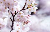 Wet cherry blossoms. Early spring cherry blossom after a spring shower. Many young flower buds on th poster