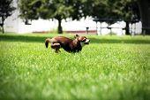 pic of chiwawa  - Small Chihuahua - JPG