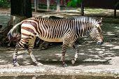 Hartmanns Mountain Zebra, Equus Zebra Hartmannae. An Endangered Zebra poster