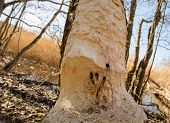 Beaver - Castor Fiber - Gnawed The Trunk Of An Old Tree. Traces Of Teeth Of A Beaver On A Tree Trunk poster