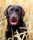 foto of hound dog  - shot of an adorable labrador puppy in a field of corn - JPG