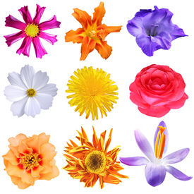 stock photo of cosmos flowers  - Set of colorful flower heads isolated on white - JPG