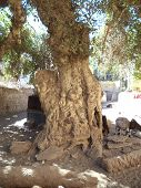 picture of nubian  - Large tree with goat heard in old  Nubian village on Elephantine Island - JPG