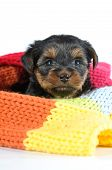 Little Puppy Portrait Inside Colorful Scarf