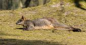 pic of tammar wallaby  - Swamp wallaby is relaxing in the sun - JPG