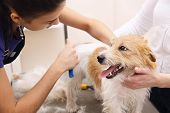 stock photo of trimmers  - Jack Russell Terrier getting his hair cut at the groomer - JPG