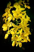 picture of cassia  - A row of Cassia Fistula or golden shower tree - JPG