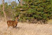 image of deer rack  - Whitetail Deer Buck standing in a field - JPG