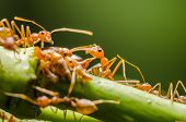 foto of aphid  - Red ant and aphid on the leaf in the nature