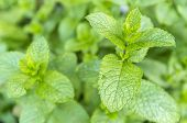 pic of spears  - Mentha spicata  - JPG