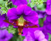foto of hawk moth  - Hummingbird Moth pollinating purple petunia in Spring