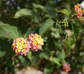 stock photo of lantana  - Beautiful tiny blossom of Lantana camara plant - JPG
