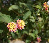 picture of lantana  - Beautiful tiny blossom of Lantana camara plant - JPG