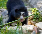 picture of bear cub  - A playful bear cub plays with bamboo - JPG