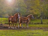 picture of clydesdale  - Three horses standing near each other out in the pasture near the woods on a sunny morning. ** Note: Slight graininess, best at smaller sizes - JPG