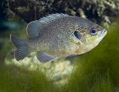 picture of sunfish  - A Blackspotted Sunfish Lepomis punctatus swims along the mossy bottom in the clear freshwaters of Fanning Springs a state park in Florida - JPG