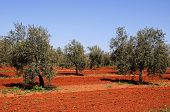 image of rich soil  - Olive grove with rich red soil Near Fuente del Piedra Malaga Province Andalucia Spain Western Europe - JPG