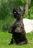 foto of scottie dog  - The Scottish Terrier  - JPG
