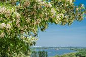 image of locust  - Blooming locust over the river Don in May - JPG