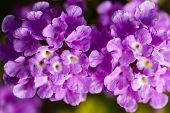 stock photo of lantana  - Lantana montevidensis is a species of lantana known by many common names such as trailing lantana and weeping lantana - JPG