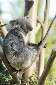 foto of herbivore  - A cute adorable adult koala bear sitting on a tree grasping a branch with its claws. The Phascolarctos cinereus is an arboreal herbivorous marsupial native to Australia with gray fur and round fluffy ears. ** Note: Soft Focus at 100%, best at smaller siz - JPG