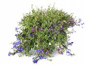 picture of lobelia  - different coloured lobelia growing in a plant pot - JPG