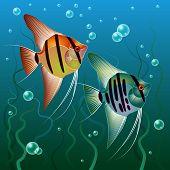 pic of blubber  - Bright Fish Pterophyllum scalare in the aquarium - JPG