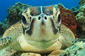 stock photo of aquatic animal  - Cute Sea Turtle face - JPG