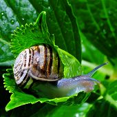 pic of snail-shell  - The snail belongs to invertebrates has outer shell that uses as a defense.