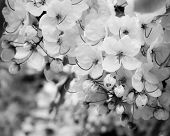 image of cassia  - close up bunch of cassia fistula flower background in black and white tone - JPG