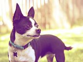 picture of applehead  - a cute chihuahua enjoying the outdoors done with a warm instragram like filter - JPG