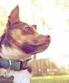 foto of applehead  - a cute chihuahua enjoying the outdoors done with a warm instragram like filter - JPG