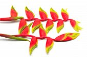 stock photo of heliconia  - Tropical red Hanging Heliconia or Hanging Lobster Claw - JPG